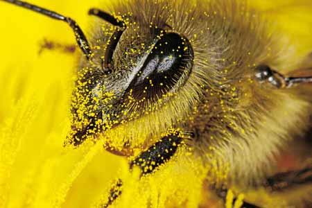 пчелиная пыльца NSP - Bee Pollen