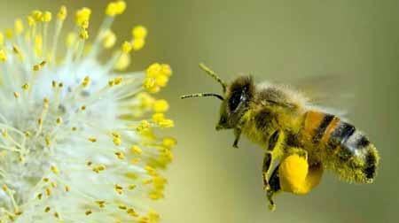 NSP Bee Pollen
