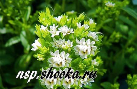 nsp стевия цветет